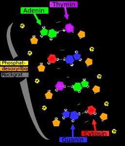 Basenpaarung in DNA-Struktur, Bild: madprime auf wikipedia