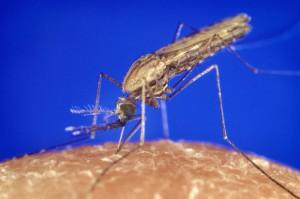 Malaria-Überträger Moskito Anopheles
